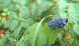 Blackberry selvagem amadurecido que espera para ser escolhido anaglyph 3D fotografia de stock royalty free