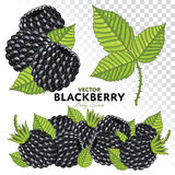Blackberry Set, Vector. Blackberry with Leaves, Vector. on White Background. For design packing juice, yogurt and others stock illustration