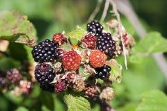 Blackberry - skogprodukt Arkivfoton