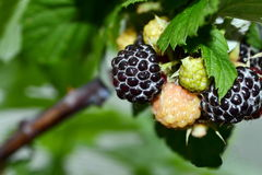 Blackberry Royalty Free Stock Photography