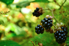 Blackberry in sunny forest Stock Image