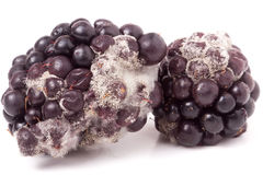Blackberry tainted with mold isolated on white background Stock Image
