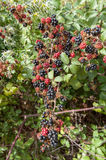 Blackberry time Royalty Free Stock Photography
