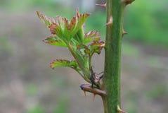 Blackberry-Trieb auf Stamm im Frühjahr Stockfotografie