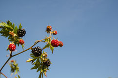 Blackberry twig at blue sky stock images