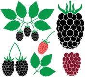 Blackberry. Vector illustration (EPS 10 stock illustration