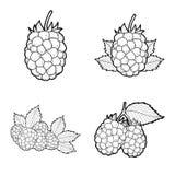 Blackberry. Vector Illustration Hand Drawn Fruit Cartoon Art royalty free illustration
