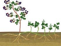 Blackberry vegetativ reproduktionsintrig vektor illustrationer