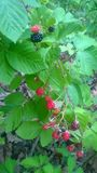 Blackberry Vine. A blackberry vine with some ripe and some unripe berries royalty free stock images