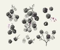 Blackberry vintage illustration with single berries and background fruit stains vector illustration