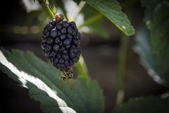 Blackberry and Wasp. Closeup photograph of a wasp on a ripe blackberry royalty free stock image