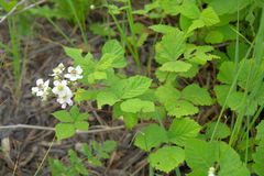 Blackberry white flowers. Blackberry with yellow  white flowers Royalty Free Stock Photography