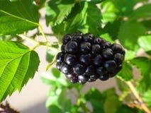 Blackberry fruit - Purple. Blackberry, wild blackberry complex, shrubby blackberry, european blackberry, tempu rengat, broad-leaf bramble, malayan bramble, black royalty free stock images