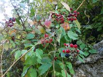 Blackberry. Wild fruit berry berries forest ripe black Royalty Free Stock Image