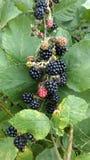 Blackberrys 库存图片
