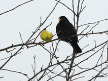 Blackbird - 1 Royalty Free Stock Photo
