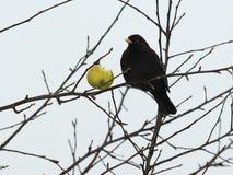 Free Blackbird - 1 Royalty Free Stock Photo - 17575245