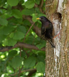 Blackbird 1. European starling (blackbird, Sturnus vulgaris) seating on a tree trunk, near his nest (hole in a trunk); leaves in the background Stock Images