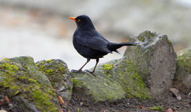 Blackbird. Image of a wild blackbird (Turdus merula) resting on some rocks Royalty Free Stock Photos