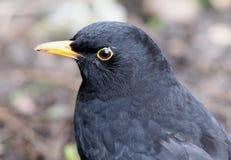 Blackbird. Close up of a Male Blackbird Stock Photos