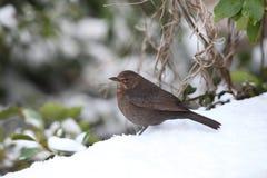 Blackbird. View of a hen blackbird in snow Royalty Free Stock Image