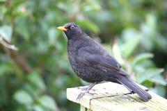 Blackbird. Closeup of a male blackbird in profile Royalty Free Stock Image