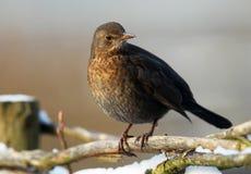 blackbird Arkivfoto