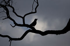Blackbird. Back-light photo showing a blackbird on a hazy day royalty free stock images