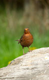 Blackbird. An image of a female common blackbird standing on a rock with a green background stock photos