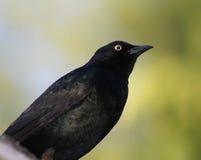 Blackbird. Closeup of blackbird against green background Stock Images