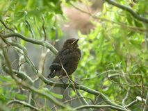 Blackbird Royalty Free Stock Photos
