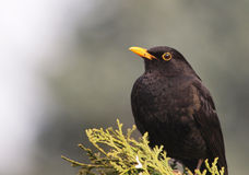 blackbird Royaltyfri Bild