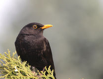 Blackbird. Male Blackbird in a park in Bucharest stock photos