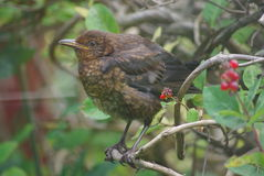 BlackBird. Baby Blackbird sitting on a branch on sunny day learning to fly green trees in the background Royalty Free Stock Photos