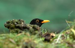 blackbird Arkivfoton