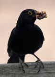 Blackbird. With a lot off worms Royalty Free Stock Photography