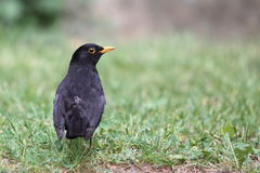 blackbird Royaltyfria Bilder
