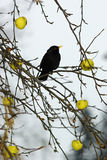 Blackbird - 2 Royalty Free Stock Images