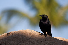 Blackbird. A small blackbird waiting patiently on a rock to fly off and find food stock photography