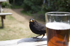 Blackbird Stock Image