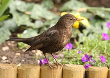 Blackbird Stock Photos