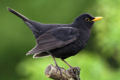 blackbird Royaltyfria Foton