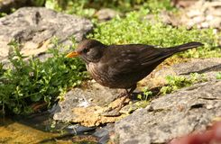 Blackbird Royalty Free Stock Photography