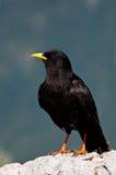 Blackbird Arkivbild