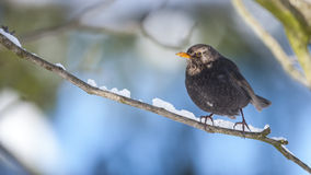 Blackbird Stock Photo