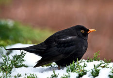 Blackbird Stock Images