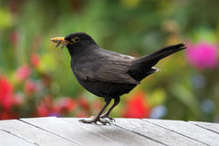 Blackbird. On table with food in it's beak Stock Photography