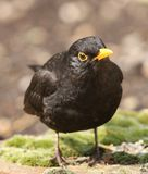 Blackbird Royalty Free Stock Image