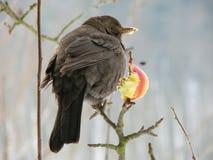 Blackbird and apple Stock Photos