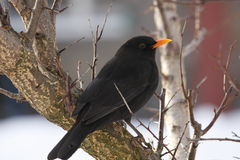 Blackbird on the apricot tree Royalty Free Stock Photo